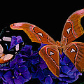 Leslie Crotty - Atlas Moth Rendezvous...