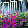 Luther  Fine Art - Flower - Austin Petunias...