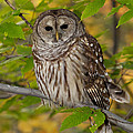 Joshua Clark - Autumn Barred Owl