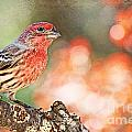 Debbie Portwood - Autumn Male House Finch 1