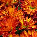 Lori Frisch - Autumn Orange Mums