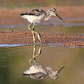 Ruth Jolly - Avocet chick
