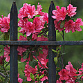 Daniel Dempster - Azalea and Wrought Iron...