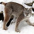 Inspired Nature Photography By Shelley Myke - Baby Canadian Lynx...