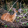 Peggy  Franz - Baby Deer  White Tail