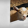 Dianne Phelps - Baby Goat