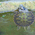 Carla Mason - Baby Red-Eared Slider...