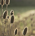 Anne Gilbert - Backlit Teasel