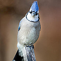 Bill  Wakeley - Backyard Birds Blue Jay