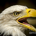 Darren Wilkes - Bald Eagle