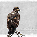 Reflective Moments  Photography and Digital Art Images - Bald Eagle -Juvenile