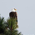 Reflective Moments  Photography and Digital Art Images - Bald Eagle