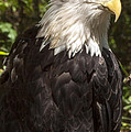 Darleen Stry - Bald Eagle Stare Down