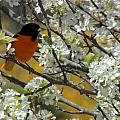 Kimberly Perry - Baltimore Oriole Male