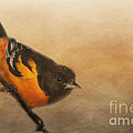 Pam  Holdsworth - Baltimore Oriole
