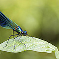 Chris Smith - Banded demoiselle