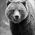 Stephen Stookey - Banff Grizzly in Black...