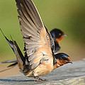 Kathy Baccari - Barn Swallow