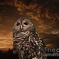 Cris Hayes - Barred Owl