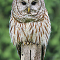 Jennie Marie Schell - Barred Owl on a Fence...