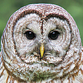 Jennie Marie Schell - Barred Owl Portrait