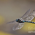 Janice Rae Pariza - Beautiful Blue Dragonfly...