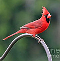 Carol Groenen - Beautiful Cardinal