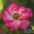 Vishwanath Bhat - Beautiful Pink Rose
