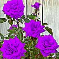 Bruce Nutting - Beautiful Purple Roses