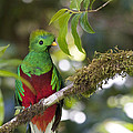 Heiko Koehrer-Wagner - Beautiful Quetzal 1