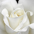Jennie Marie Schell - Beauty of the White Rose...