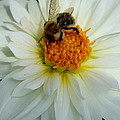 Christiane Schulze Art And Photography - Bee At Dahlia Heart