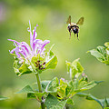 Bill  Wakeley - Bee Balm Bumble Bee