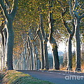 France  Art - Beloved Plane Trees
