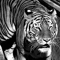 Venetia Featherstone-Witty - Bengal Tiger in black...