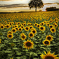 Debra and Dave Vanderlaan - Big Sunflower Field