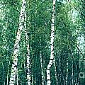 Hannes Cmarits - Birch Forest - Green