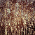 Bedford Shore Photography - Birch Tree Grove
