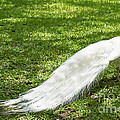 Luther  Fine Art - Bird - White Peacock...