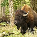 Sean Griffin - Bison Bull