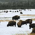 Kae Cheatham - Bison Cows Browsing