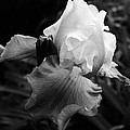 Bruce Bley - Black and White Iris 2
