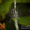Inspired Nature Photography By Shelley Myke - Black and Yellow Argiope...