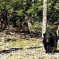 David Rucker - Black Bear Emerges