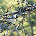 Debbie Oppermann - Black Capped Chickadee
