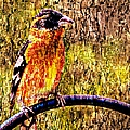 Barbara Chichester - Black-headed Grosbeak