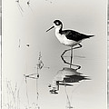Priscilla Burgers - Black-necked Stilt at...