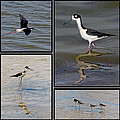 Dawn Currie - Black necked Stilt