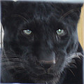 John Telfer - Black Panther Waiting