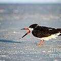 Dawna  Moore Photography - Black Skimmer